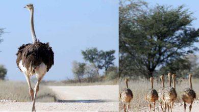 Photo of ലോകത്തിലെ ഏറ്റവും വലിയ പക്ഷി പറക്കുവോ ? കല്ലുകള് വിഴുങ്ങുന്ന പക്ഷി